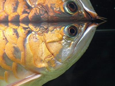 鏡アロワナ