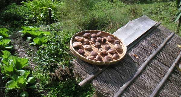 ネギ小屋の上の干しシイタケ