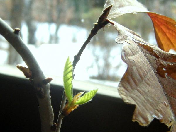 コナラ苔玉の新芽拡大