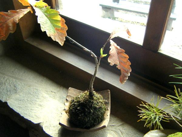 コナラ苔玉の新芽