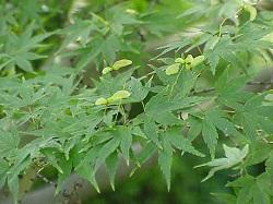 z Japanese green