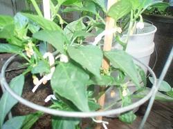 3 Hot Pepper 1