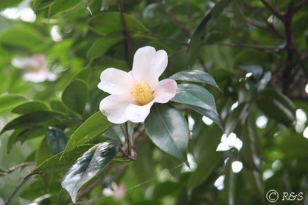 実篤公園の椿1IMG_5381