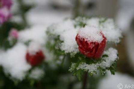 雪のアネモネIMG_5212