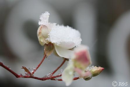 雪のスノーグースIMG_5213