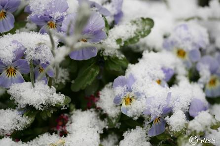 雪のビオラ1IMG_5210