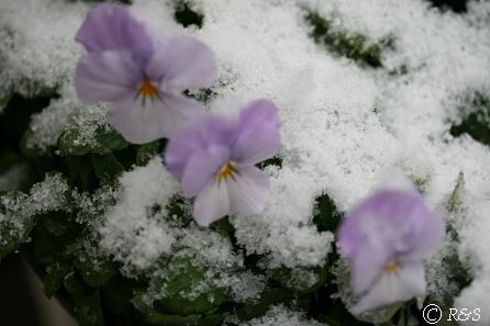 雪のビオラ3IMG_5209