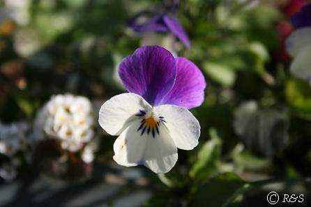 しだれ咲きビオラIMG_5943