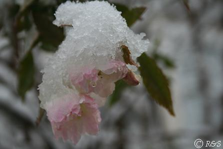 雪のスノーグースIMG_6230