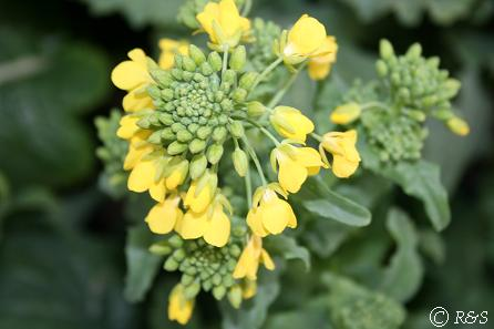 菜の花IMG_6267