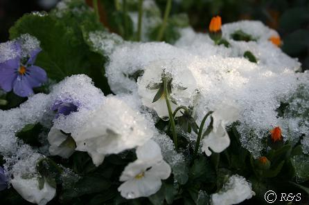 雪のビオラ1IMG_6980
