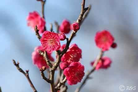 羽根木公園-紅梅6IMG_7201