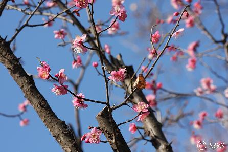羽根木公園-紅梅9IMG_7206