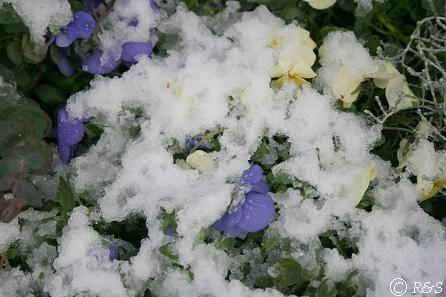 雪の花壇IMG_7138