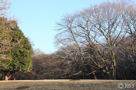 砧公園-桜6IMG_7946