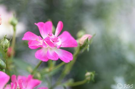 ピンクミニバラ1IMG_7063