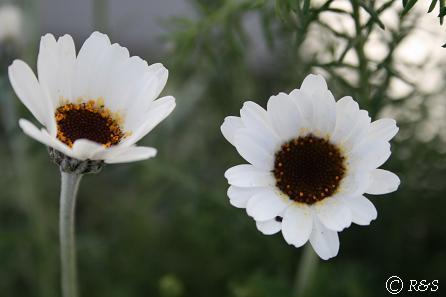 白い花IMG_7084