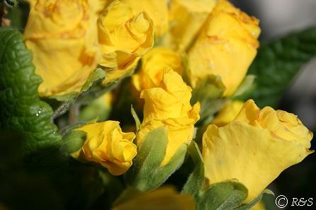 ジュリアン黄色IMG_7320