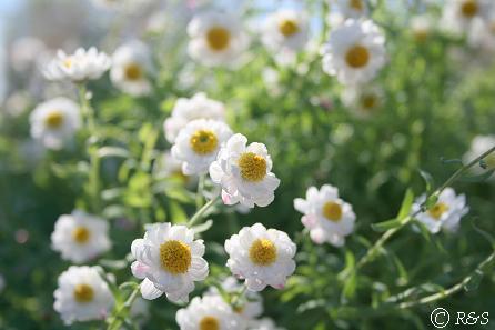 花かんざし1IMG_7338