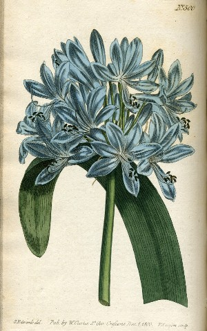 African Agapanthus, Blue Lily