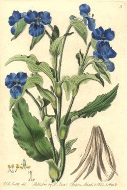 18542.Commelinaceae - Commelina coelestis