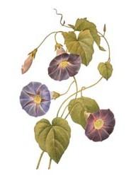 ルドゥーテ「美花選」(1827)
