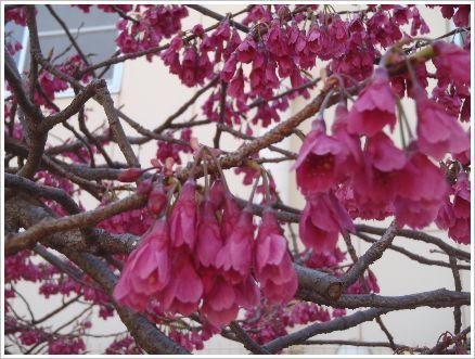 今が満開 公園の寒緋桜