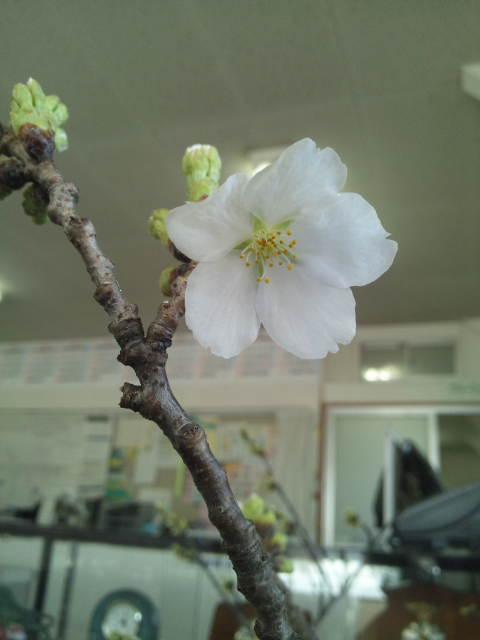 桜咲きました。