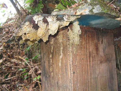 洋蜂の造巣跡1