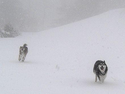 雪の中走る北斗・ジョン