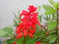 DSCN6345_convert_20130702085440サルビアの花