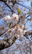 火の山公園・桜
