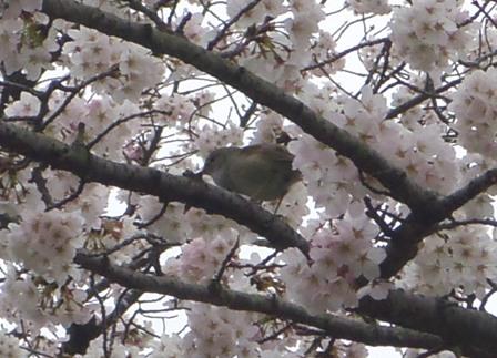 桜とうぐいす♪