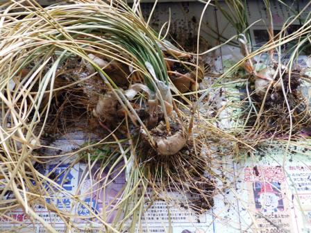 掘り出したサフランの球根