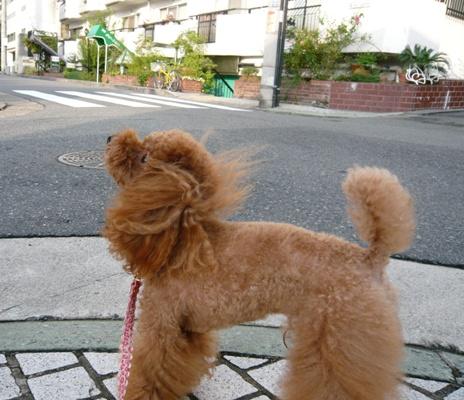 マロンちゃん@お散歩中