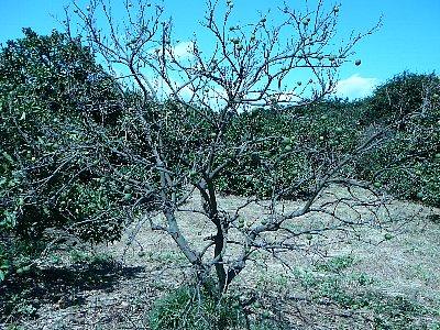 ミカン枯れ樹20110906