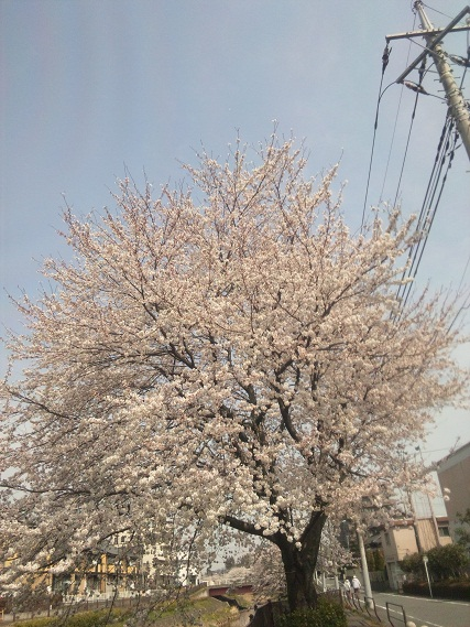 レッスン桜