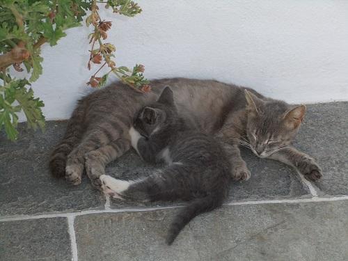 シフノス_アポロニアの猫さん親子