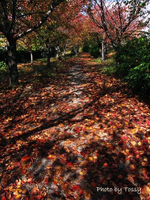 桜紅葉の散歩道