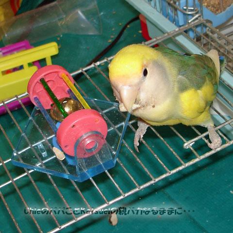 我が家のペット、小桜インコのピーチちゃん、2歳になりました 2012-01-28