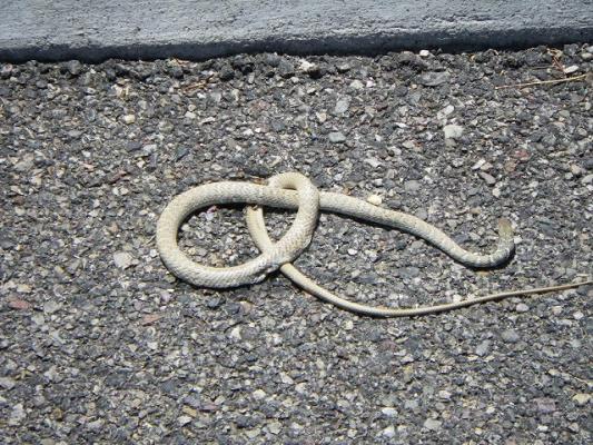 rattle_snake