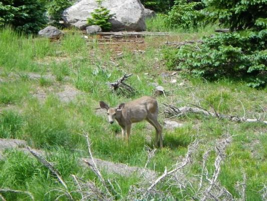 wild_deer