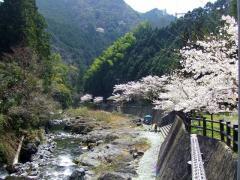 玉川の桜_R