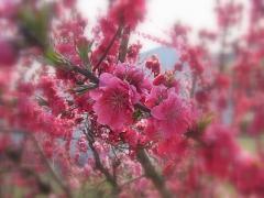 桃の花-2_R