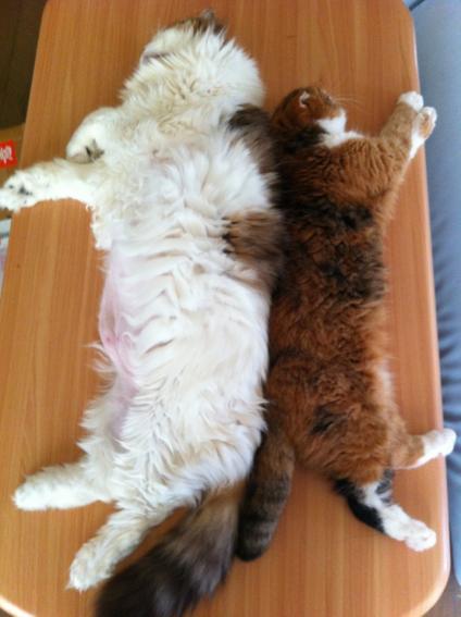 左右非対称猫の開き