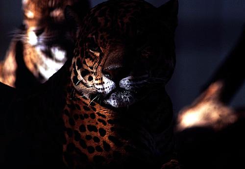 ジャガー03-500