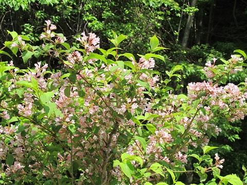 大万木山の花