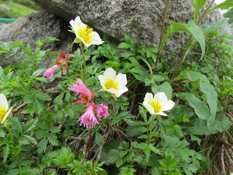 八方尾根の花々