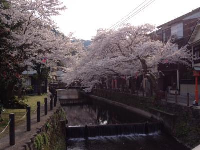 城崎温泉☆桜(さくら)情報 桜橋~木屋町通り