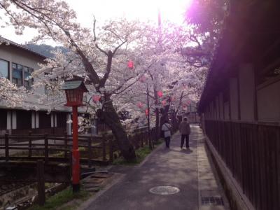城崎温泉☆桜(さくら)情報 木屋町通り~ときわ別館さま前付近